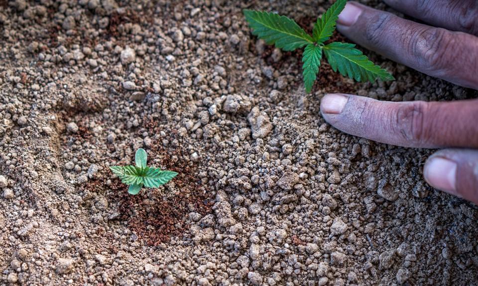 buy weed New zealand