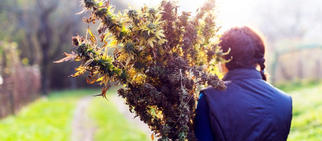 Get Beautiful Buds With These Outdoor Cannabis Harvesting Tips