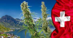 WHERE TO BUY WEED USA LOOKING TO BUY WEED ONLINE BEST ONLINE MARIJUANA.The best Australia Cannabis shop, Buy Marijuana (Weed, Buds, Kush, Green For sale.